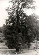 Albero gigantesco presso il torr. Holla